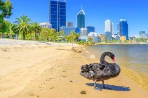 Black Swan, Perth