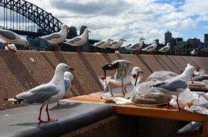 Sydney, seagulls, lockdown